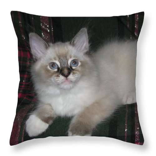 Kitten Silky Snow Lynx Point With Boots On Green And Pink Plaid Silktapestrykittenstm Throw Pillow featuring the photograph Kitten Silky Snow Lynx With Boots by Pamela Benham