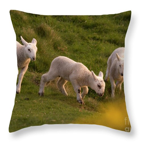 Prancing Lamb Throw Pillow featuring the photograph Lambs On The Meadow by Angel Ciesniarska