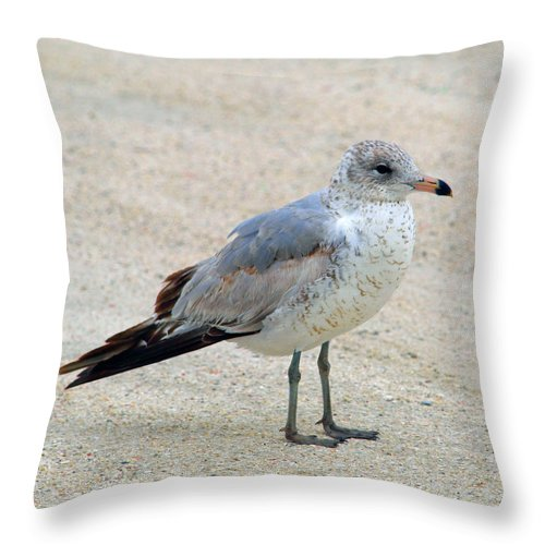 Laughing; Gull; Seagull; Bird; Waterfowl; Seashore; Sebastian; Inlet; Flying; Florida; Larus; Atrici Throw Pillow featuring the photograph Laughing Gull by Allan Hughes