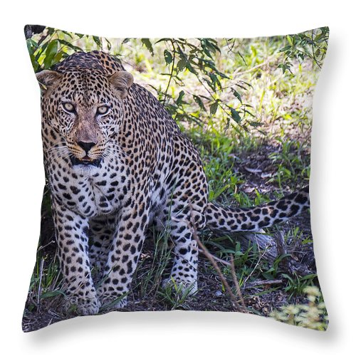 Safari Throw Pillow featuring the photograph Leopard Front by Bryan Pereira