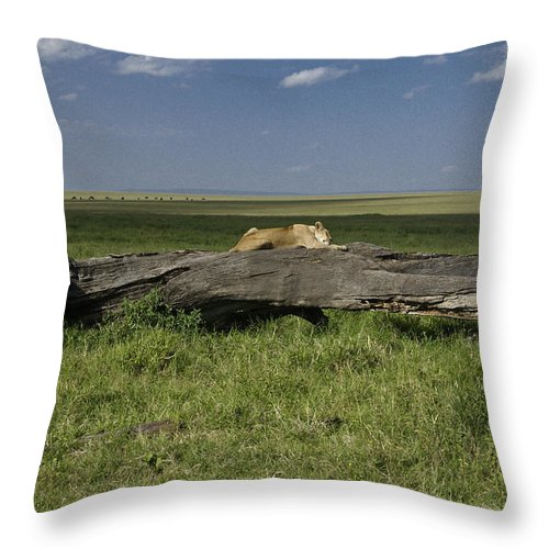 Africa Throw Pillow featuring the photograph Lion on a Log by Michele Burgess