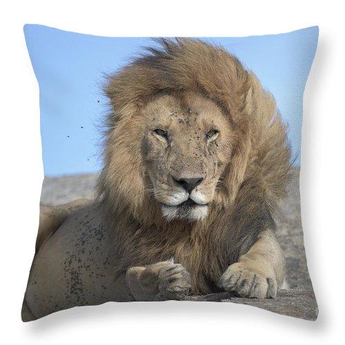 Safari Throw Pillow featuring the photograph Lion On Mound by Bryan Pereira