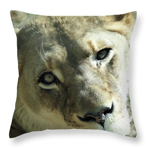 Maryland Throw Pillow featuring the photograph Lioness Up Close by Ronald Reid