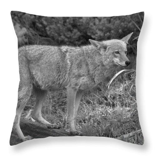 Yellowstone Coyote Throw Pillow featuring the photograph Listening Intently Closeup Black And White by Adam Jewell