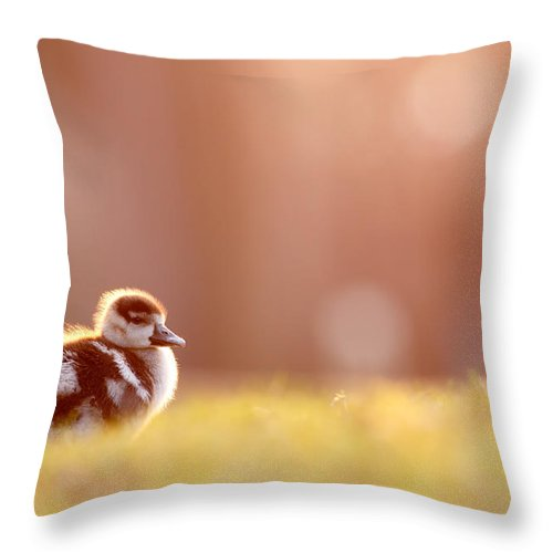 38f12b2ad980 Egyptian Goose Throw Pillow featuring the photograph Little Furry Animal -  Gosling In Warm Light by