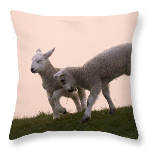 Prancing Lamb Throw Pillow featuring the photograph Little Lambs by Angel Ciesniarska