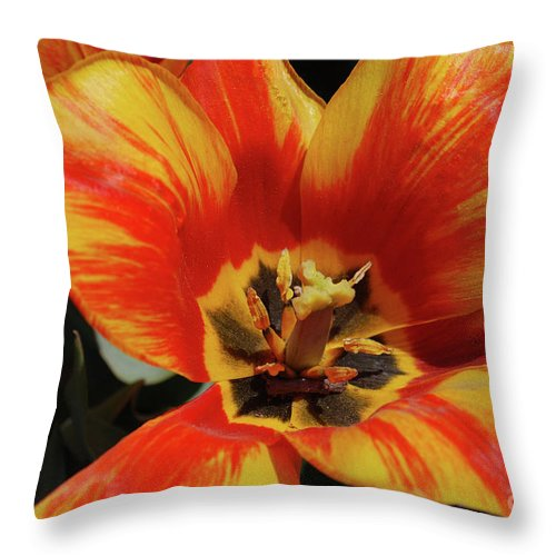 Tulip Throw Pillow featuring the photograph Macro Of A Blooming Striped Yellow And Red Tulip by DejaVu Designs