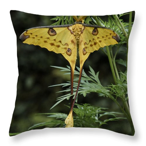 Madagascar Throw Pillow featuring the photograph Madagascar Comet Moth by Michele Burgess