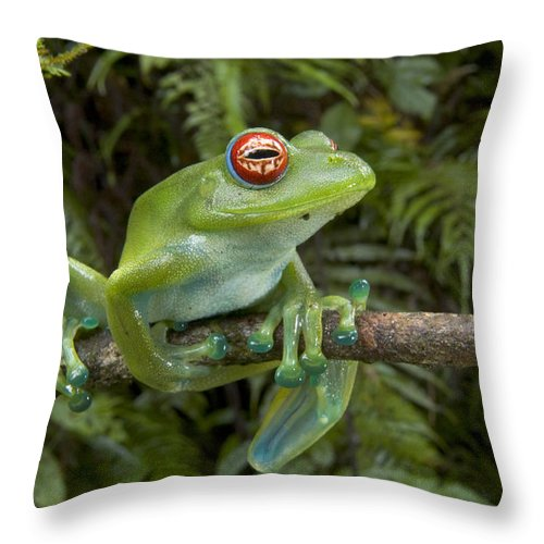 Mp Throw Pillow featuring the photograph Malagasy Web-footed Frog Boophis Luteus by Piotr Naskrecki