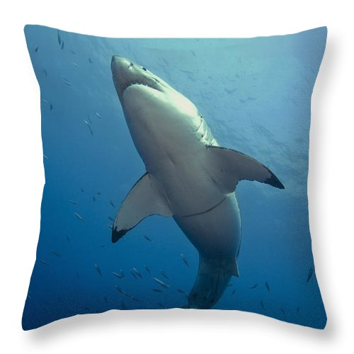 Carcharodon Carcharias Throw Pillow featuring the photograph Male Great White Sharks Belly by Todd Winner