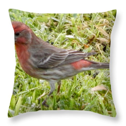 Birds Throw Pillow featuring the photograph Male House Finch by Glen Faxon