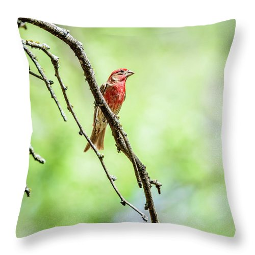 House Finch Throw Pillow featuring the photograph Male House Finch Out On A Limb by Debra Martz
