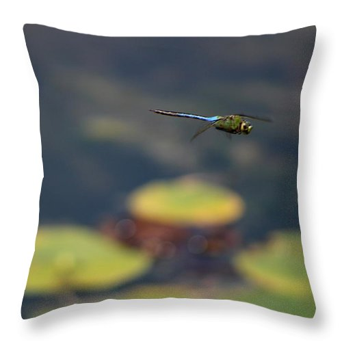 Malibu Blue Dragonfly Flying Over Lotus Pond