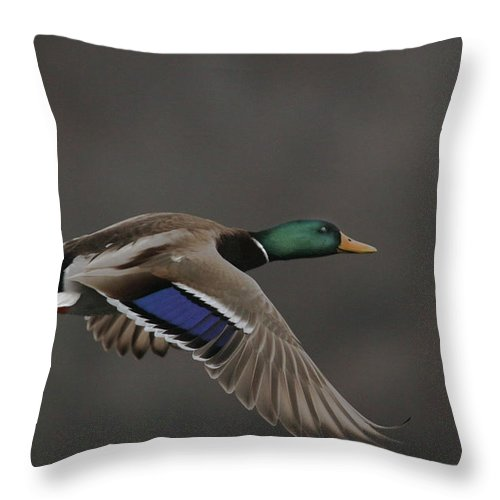 Mallard Throw Pillow featuring the photograph Mallard Duck in Flight Artsy2 by Nikki Vig