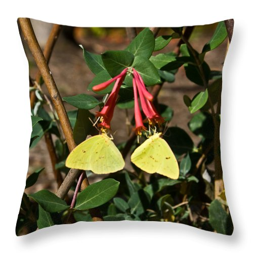 Sulfur Throw Pillow featuring the photograph Matched Pair Of Sulfur Butterflies by Douglas Barnett