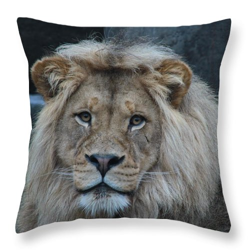 Lion Throw Pillow featuring the photograph Meal Time by Laddie Halupa