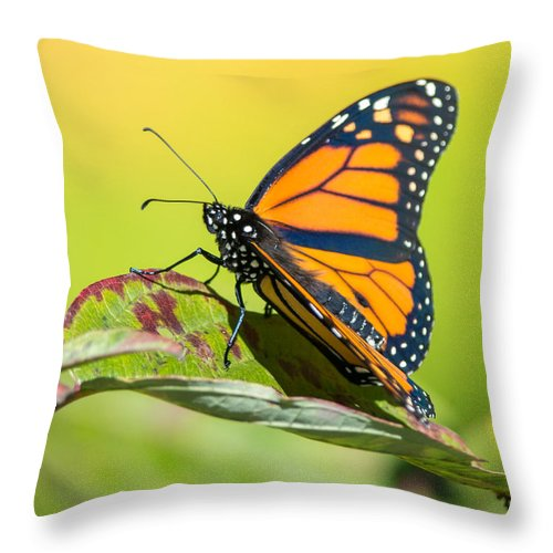 Insect Throw Pillow featuring the photograph Monarch Butterfly by Richard Kitchen