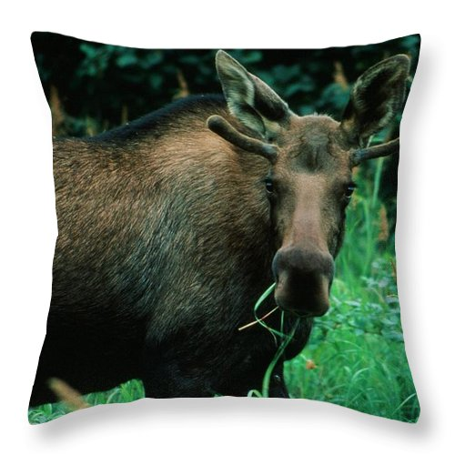 Moose Throw Pillow featuring the photograph Moose At Lunch by Ronnie Glover