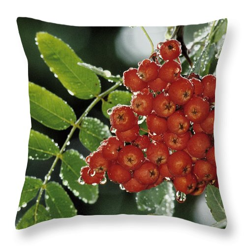 Mountain Ash Throw Pillow featuring the photograph Mountain Ash Berries In Rain by Steve Somerville