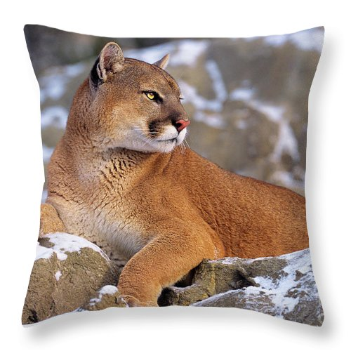 North America Throw Pillow featuring the photograph Mountain Lion On Snow-covered Rock Outcrop by Dave Welling