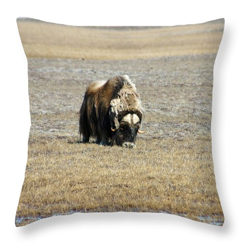 Musk Ox Throw Pillow featuring the photograph Musk Ox Grazing by Anthony Jones