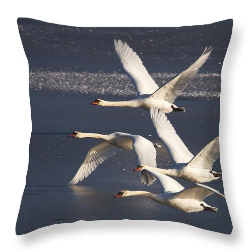 Swans Throw Pillow featuring the photograph Mute Swans In Flight by Bob Kemp
