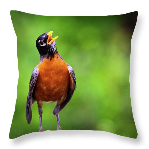American Robin Throw Pillow featuring the photograph North American Robin In Song by Rick Furmanek
