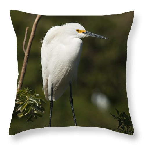 Snowy Egret Throw Pillow featuring the photograph On Balance by Chad Davis