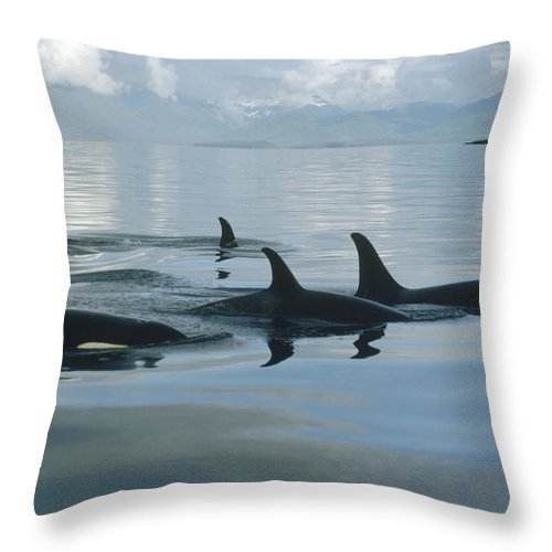 00079478 Throw Pillow featuring the photograph Orca Pod Johnstone Strait Canada by Flip Nicklin
