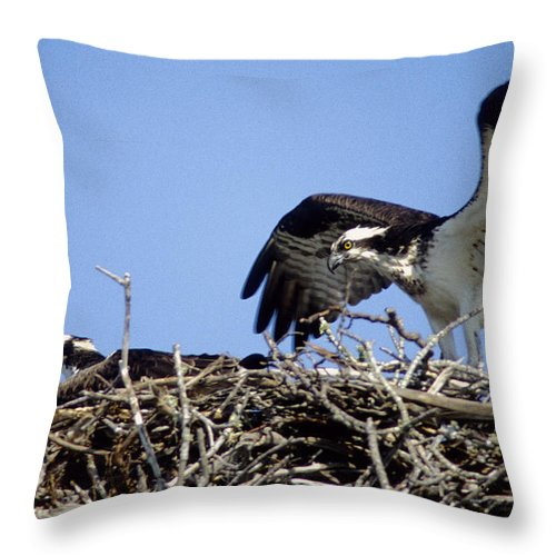Osprey Throw Pillow featuring the photograph Osprey At Nest-2 by Steve Somerville