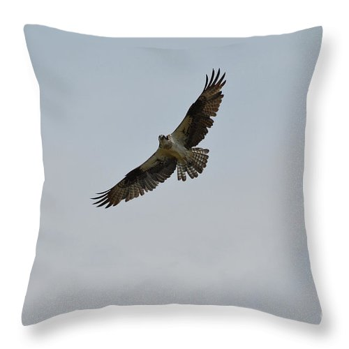 Osprey Throw Pillow featuring the photograph Osprey Bird With His Wing's Spread by DejaVu Designs