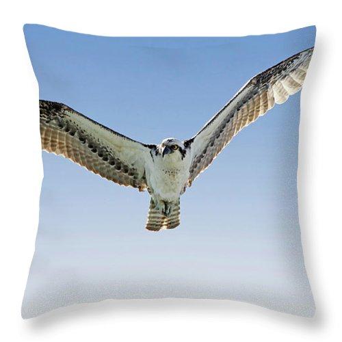 Osprey Throw Pillow featuring the photograph Osprey Soar Search by Deborah Benoit