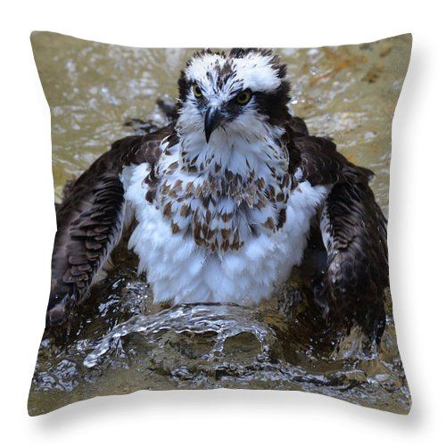 Bathing Throw Pillow featuring the photograph Osprey Splashing In Water by DejaVu Designs