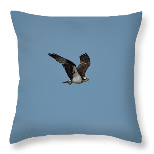Osprey Throw Pillow featuring the photograph Osprey With Blue Skies In Flight by DejaVu Designs