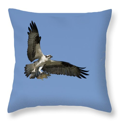 Bird Throw Pillow featuring the photograph Osprey With Fish by Chad Davis