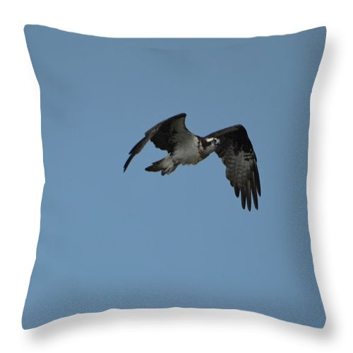 Osprey Throw Pillow featuring the photograph Osprey With His Wings Flapping by DejaVu Designs