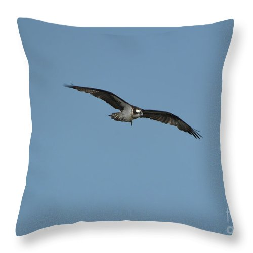 Osprey Throw Pillow featuring the photograph Osprey With His Wings Stretched by DejaVu Designs