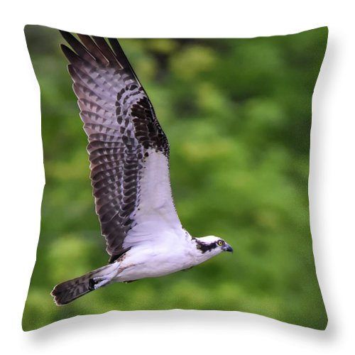 Osprey Throw Pillow featuring the photograph Osprey With Wings Extended by Cynthia Staley