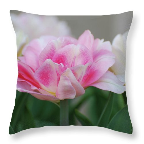 Tulip Throw Pillow featuring the photograph Pale Pink And White Parrot Tulips In A Garden by DejaVu Designs