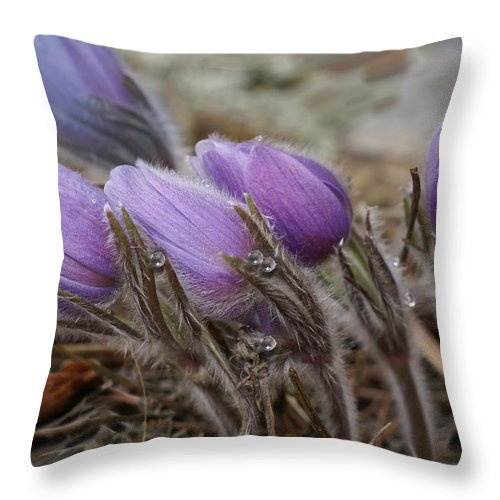 Pasque Flower Throw Pillow featuring the photograph Pasque Flower Watercolor by Heather Coen