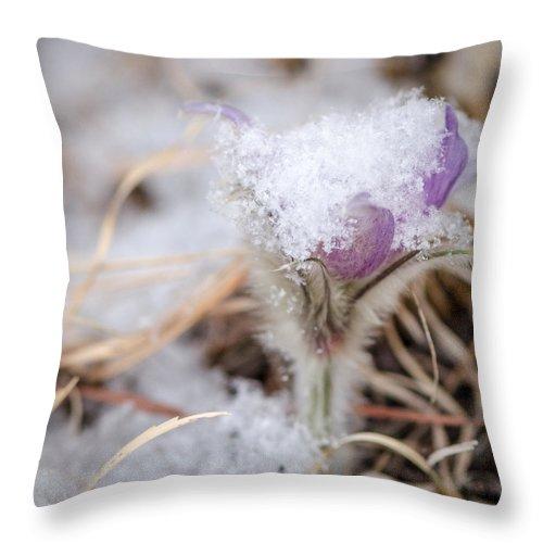 Dakota Throw Pillow featuring the photograph Pasqueflower In The Snow by Dakota Light Photography By Dakota