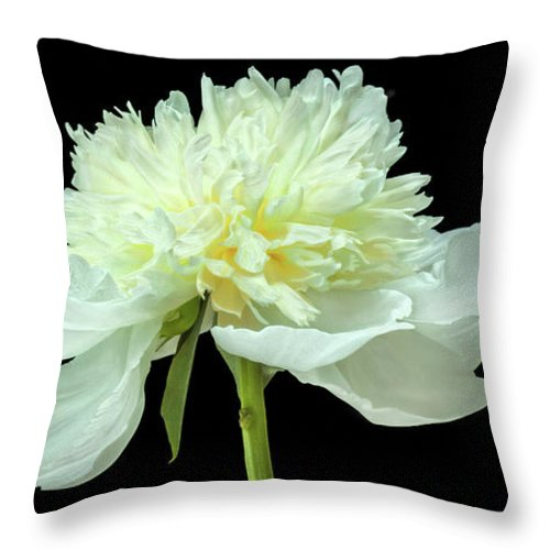 Flower Isolated Black Background Peony Single Tenderness White Gorgeous Love Green Flora Nature Natural Studio Image Floral Beauty Beautiful Macro Close Up Throw Pillow featuring the photograph Peony Expression Of Tenderness by Jennifer Harrington Relyea