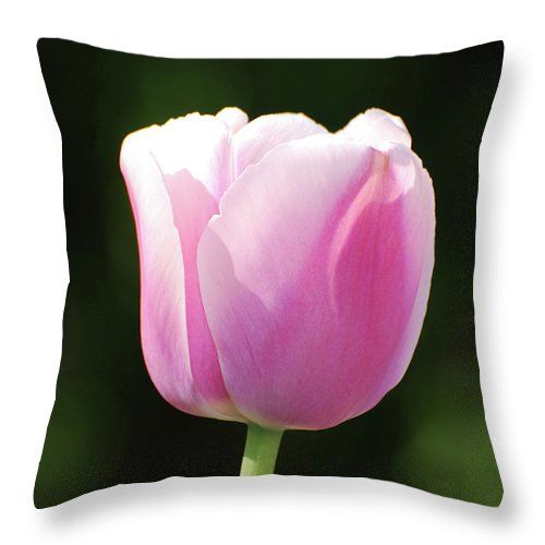 Tulip Throw Pillow featuring the photograph Perfect Pastel Pink Flowering Tulip Blossom In Spring by DejaVu Designs