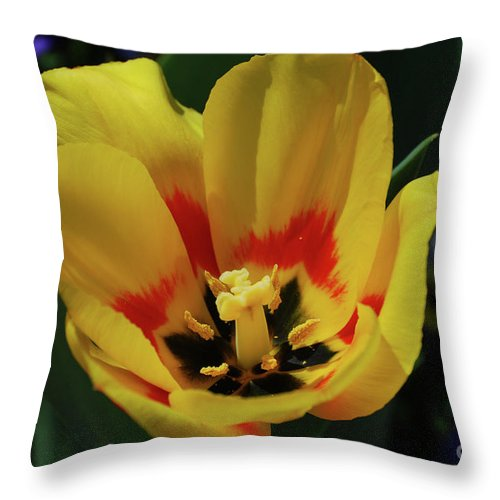 Tulip Throw Pillow featuring the photograph Perfect Yellow And Red Flowering Tulip In A Garden by DejaVu Designs