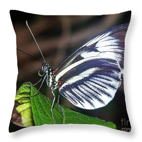 Butterfly Throw Pillow featuring the photograph Piano Key Butterfly by Edelberto Cabrera