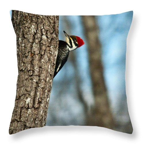 Cumberand Throw Pillow featuring the photograph Pileated Billed Woodpecker Pecking 2 by Douglas Barnett
