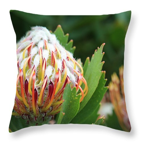 Leucospermum Glabrum Helderfontein Throw Pillow featuring the photograph Pincushion Protea by Neil Overy