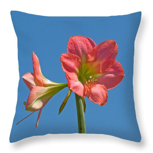 Hippeastrum; Amaryllidaceae; Belladonna; Lily; Amaryllis; Flower; Flowering; Plant; Bulb; Pot; Garde Throw Pillow featuring the photograph Pink Amaryllis Flowering In Spring by Allan Hughes
