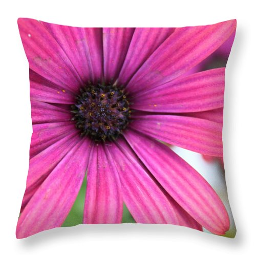 Daisy Throw Pillow featuring the photograph Pink Daisy by Lauri Novak