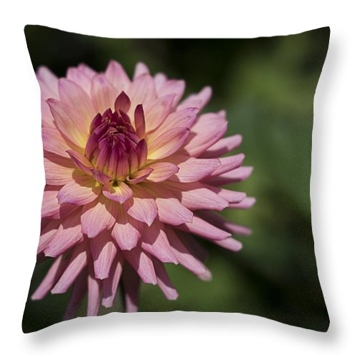 Flower Throw Pillow featuring the photograph Pink Dalia by Roni Chastain